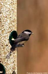 Black-capped Chickadee eating Safflower