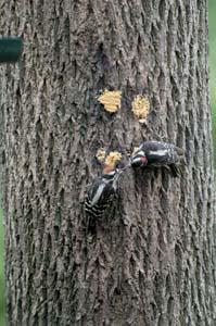 Downy Woodpeckers Bark Butter