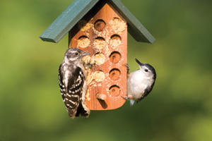 Downy Woodpeckers Suet